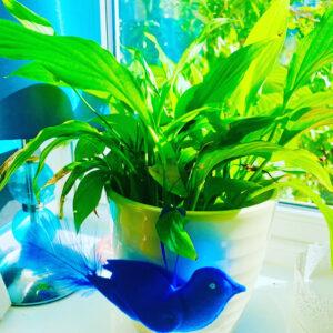 The Blue Satin Bowerbird